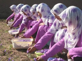 Row of women picking saffron flowers (USAID)