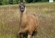 Cormac the llama in a field (Courtesy of Triple J Farms)
