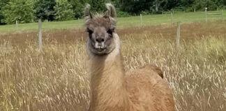 Cormac the llama in a field (Courtesy of Triple J Farms)