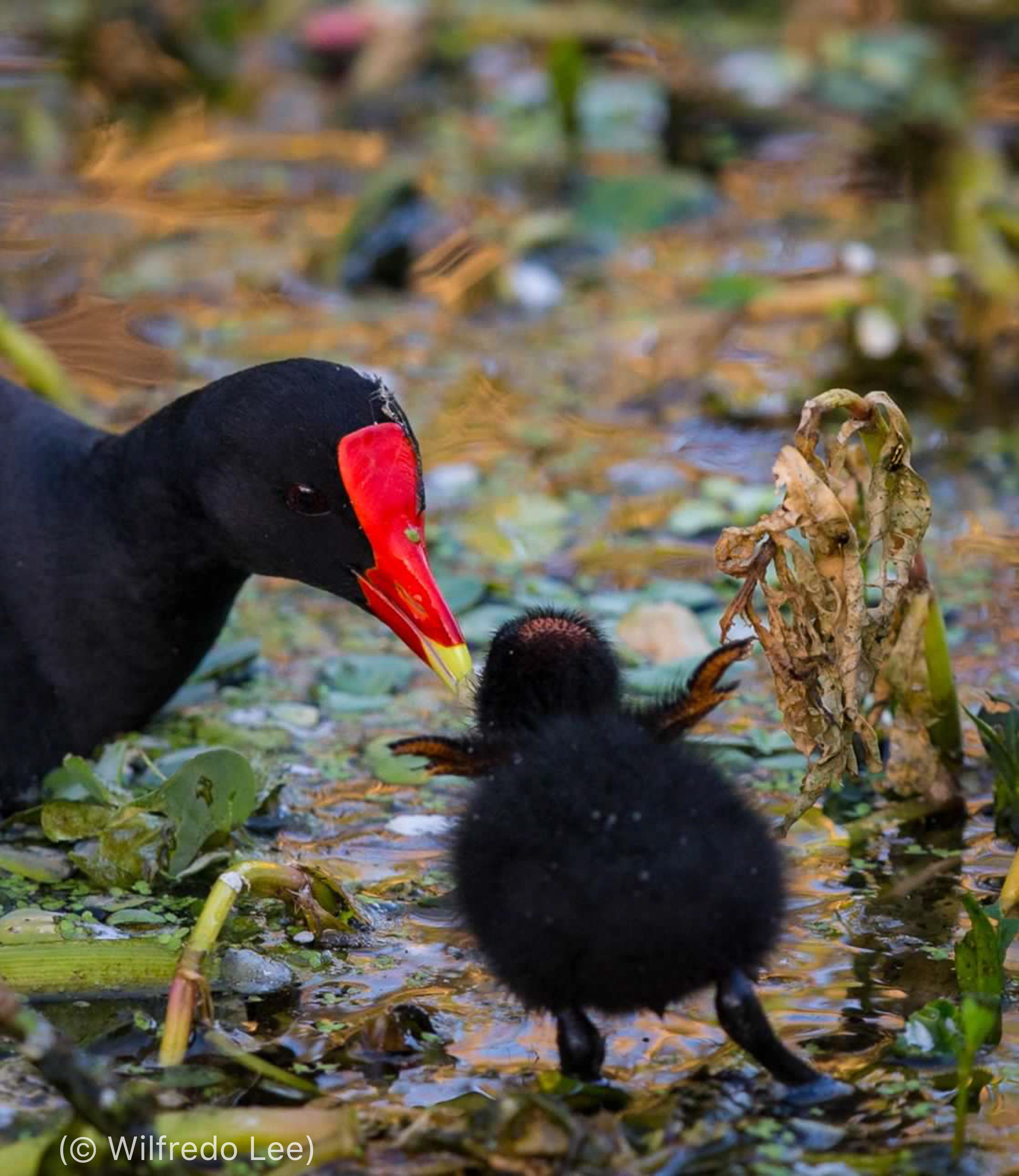 Galinha d'água comum adulta observa enquanto um filhote tenta andar (© Wilfredo Lee)