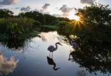Burung kuntul biru besar menjelajah lahan basah dengan latar belakang matahari terbit (© Suzy Mast)