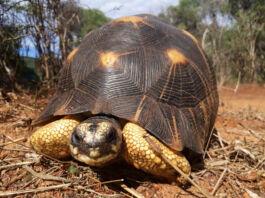 Radiated tortoise crawling on ground (© Turtle Survival Alliance)