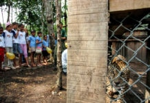 Children watch a jaguar in a cage