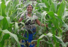 Woman standing among tall crops (USAID)
