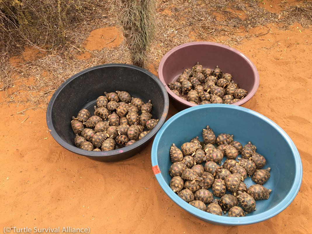 Grandes recipientes de plástico contendo tartarugas irradiadas (© Aliança pela Sobrevivência das Tartarugas)