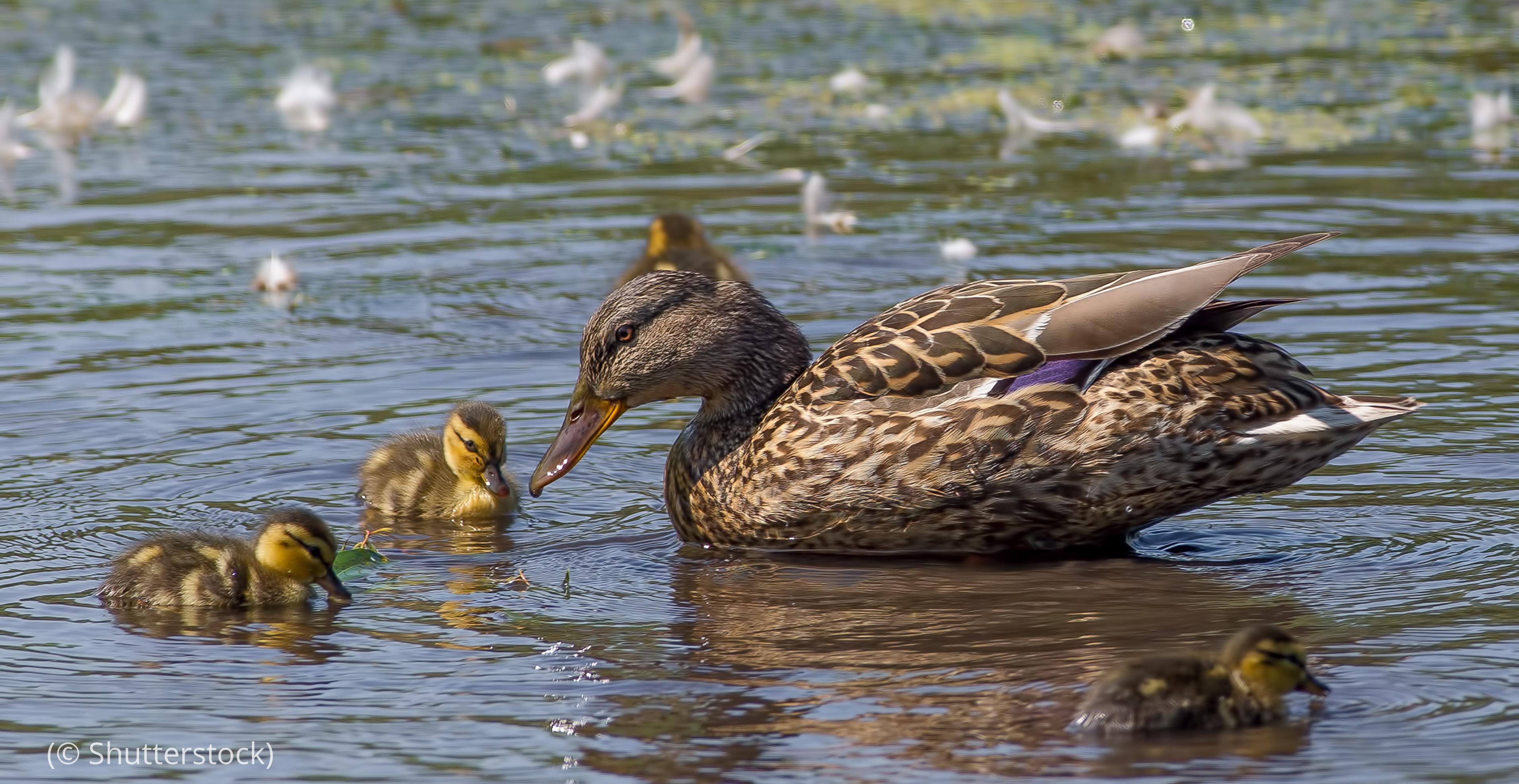 Itik melewar betina berenang bersama anak-anaknya (© Shutterstock)