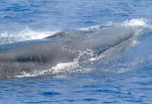 A whale swimming (NOAA Fisheries)
