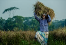 Man holding rice stalks above his head (Morgana Wingard/USAID)