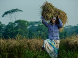 Man in field holding bundle of rice stalks above his head (Morgana Wingard/USAID)