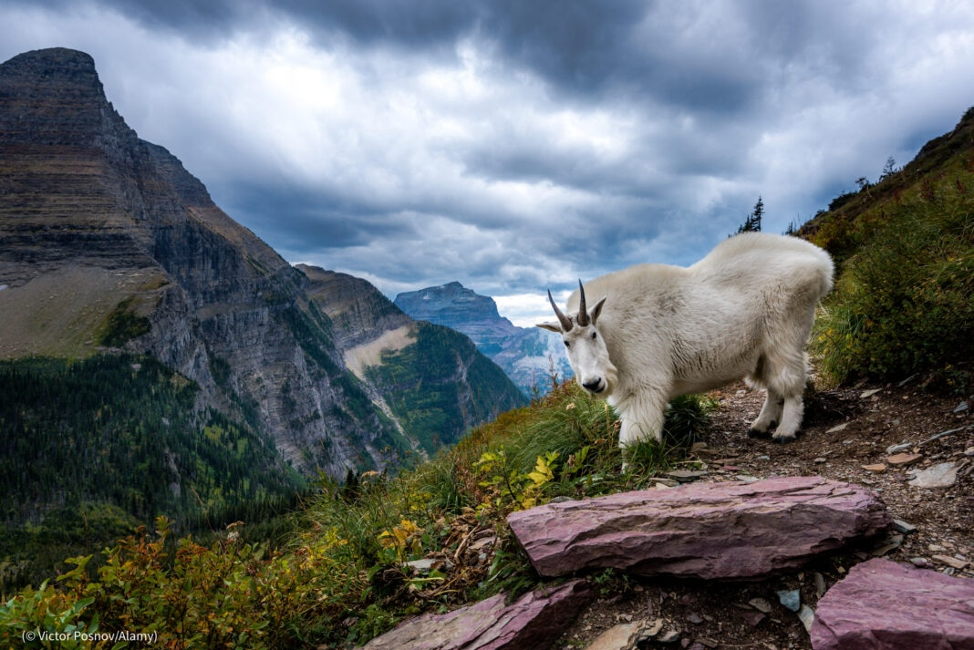 Rocky Mountain Goat in front of Bearhat Mountain in Glacier National Park, Montana, U.S.A. (© Viktor Posnov/Alamy)