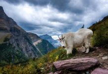 Rocky Mountain goat standing on cliff with mountains in distance (© Viktor Posnov/Alamy)