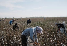 Workers picking cotton in a field (© Timur Karpov/AP Images)