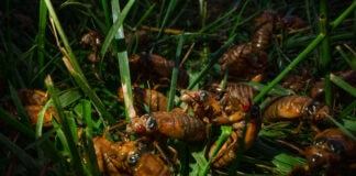 Cicada nymphs crawling through grass (© Carolyn Kaster/AP Images)