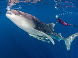 Snorkeler swimming near whale shark (© Helmut Corneli/Alamy)
