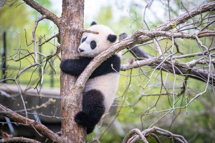 小奇迹在爬树(照片:史密森尼国家动物园)