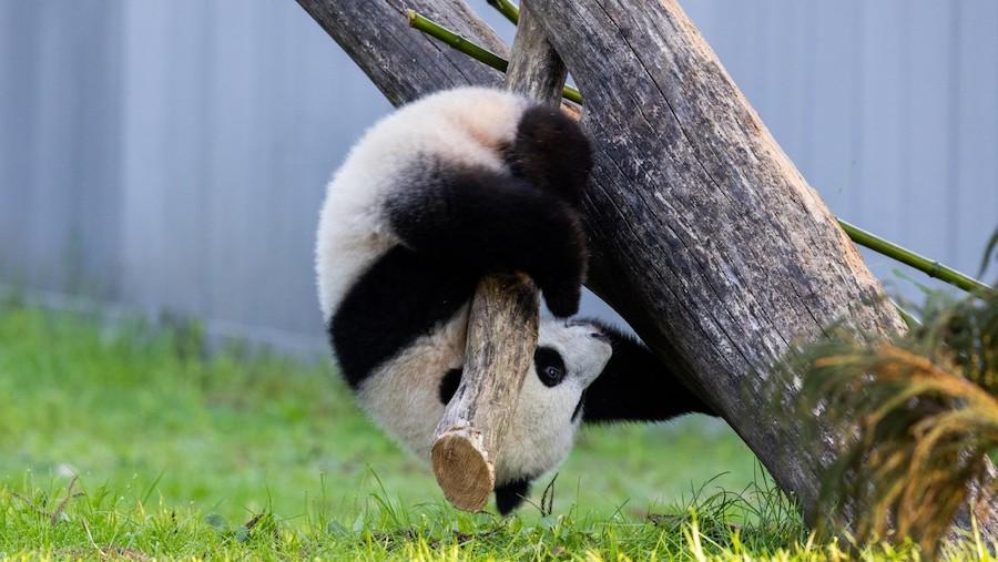 正在玩耍的小奇迹(照片:史密森尼国家动物园)