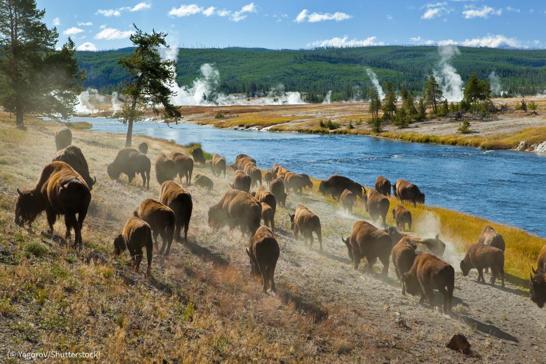 Manada de bisontes moviéndose a lo largo de un río con géiseres al fondo (© YegoroV/Shutterstock)