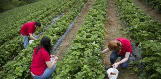 三位中学生利用暑期在弗吉尼亚一处农场打工摘草莓(照片:美联社)