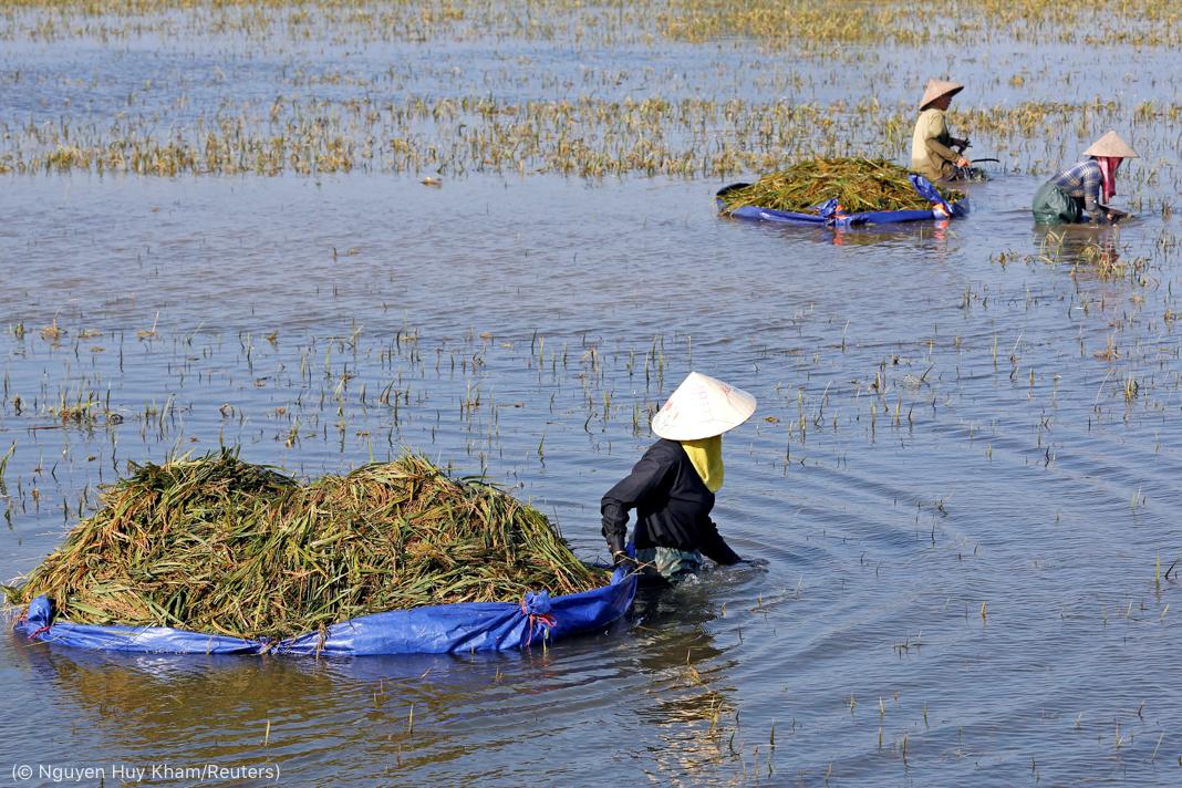 Farmers harvesting rice in flooded field (© Nguyen Huy Kham/Reuters)