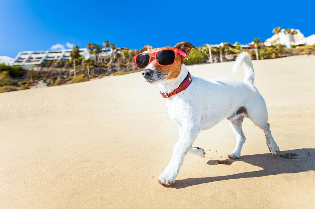 Anjing memakai kacamata antisinar matahari di pantai (Shutterstock)