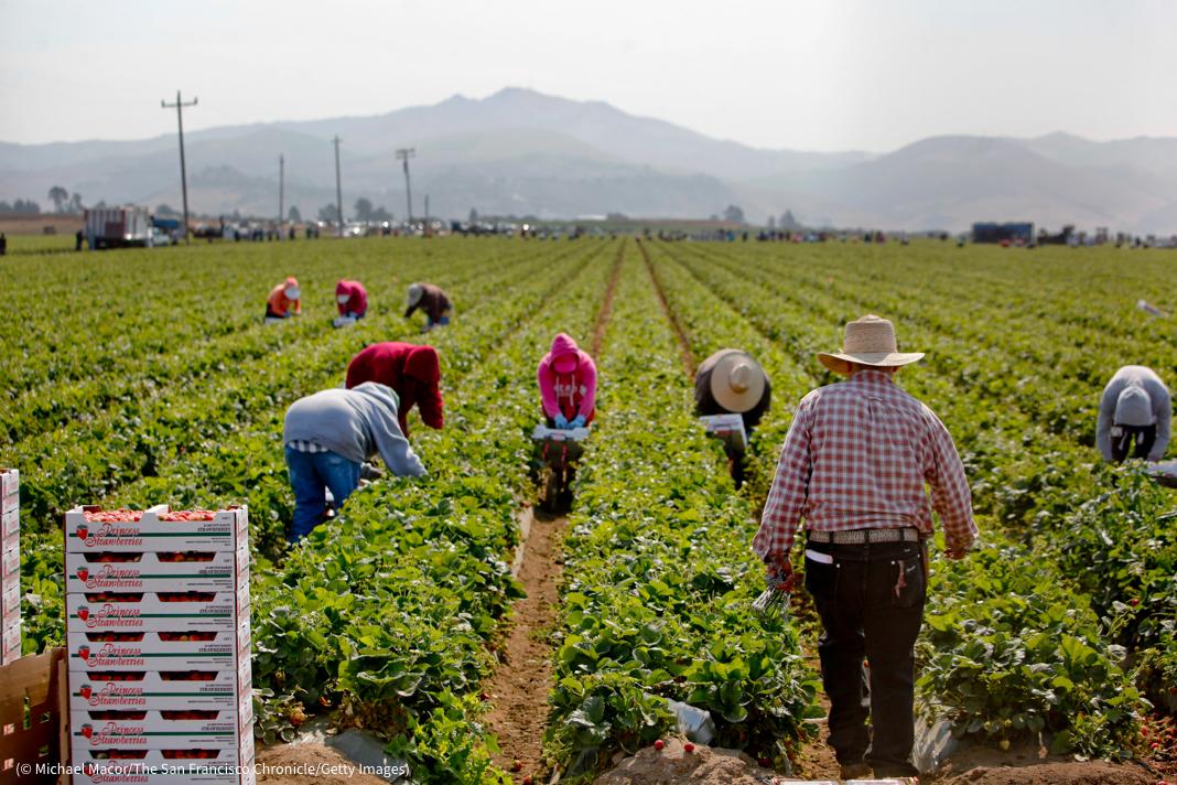 Сбор клубники в долине Салинас (© Michael Macor/The San Francisco Chronicle/Getty Images)